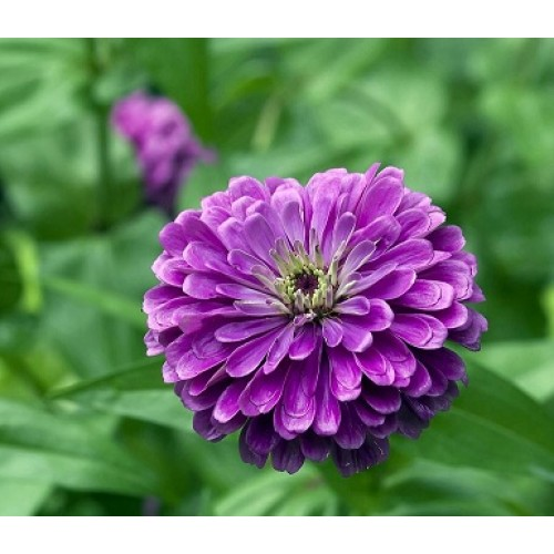 Bibit Bunga Zinnia Purple Prince