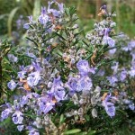 Khasiat Herbal Rosemary