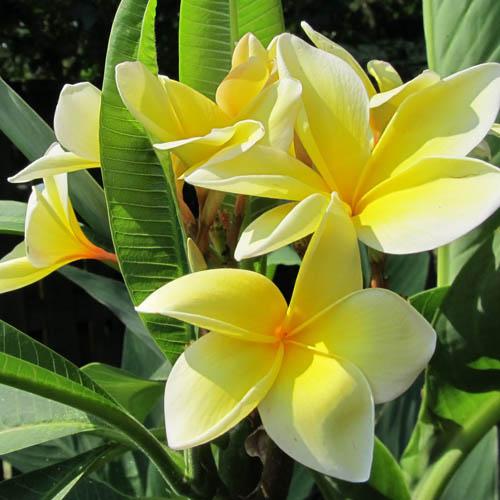 Bunga Plumeria Aztec Gold