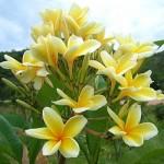 Plumeria Bali Hai Gold