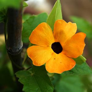 Black eyed susan vine – 5 Biji