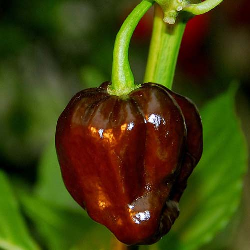 Brown Habanero Pepper