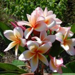 Plumeria Coral Cream