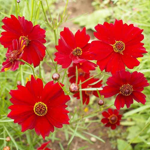 Bunga Coreopsis red