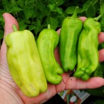 Cubanelle Peper – 10 Biji