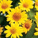 Heliopsis Summer Sun – 20 Biji