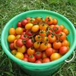 Isis Candy tomato – 10 Biji