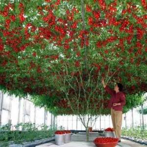 Italian tree Tomato – 5 Biji