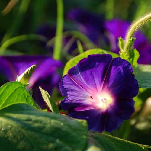 Bunga Morning Glory Rebecca