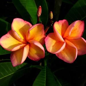 Plumeria Orange Beauty