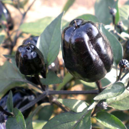 Ornamental pepper Black Scorpion Tongue
