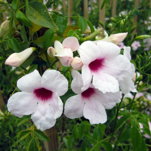 Bunga Pandorea Jasminoides