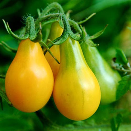 Pear tomato Yellow
