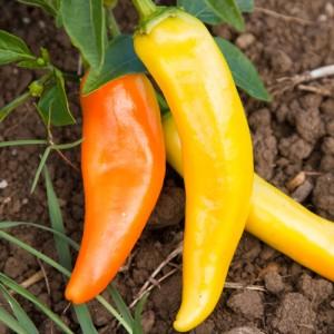 Pepper Hot Hungarian Yellow Wax – 10 Biji