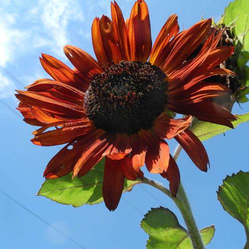 Bunga Sunflower Red Sun