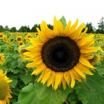 Sunflower Sunspot – 10 Biji