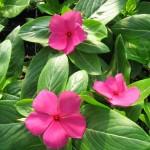 Vinca Cora Cascade Cherry (Pink) – 30 Biji