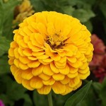 Zinnia Canary Bird – 30 Biji