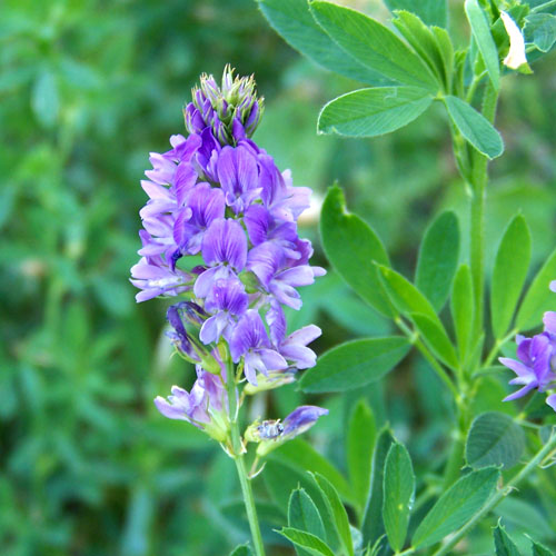 Bunga Alfalfa