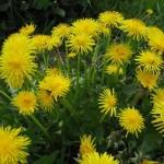 Dandelion – 50 Biji