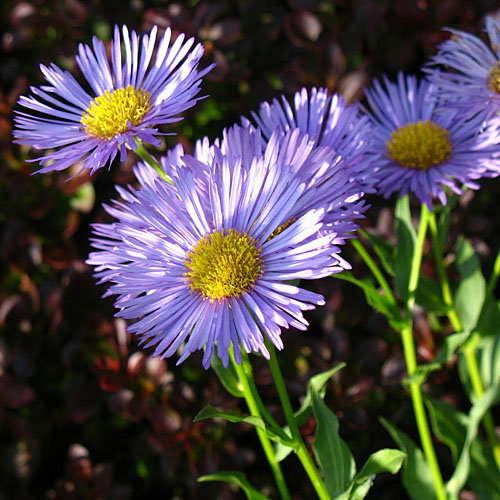 Bunga Fleabane daisy blue