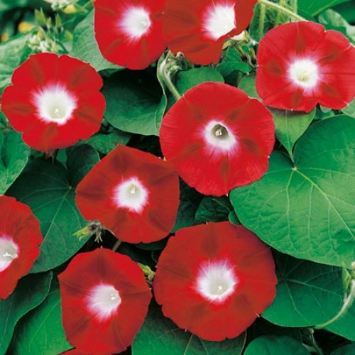 Bunga Morning Glory Crimson Rambler