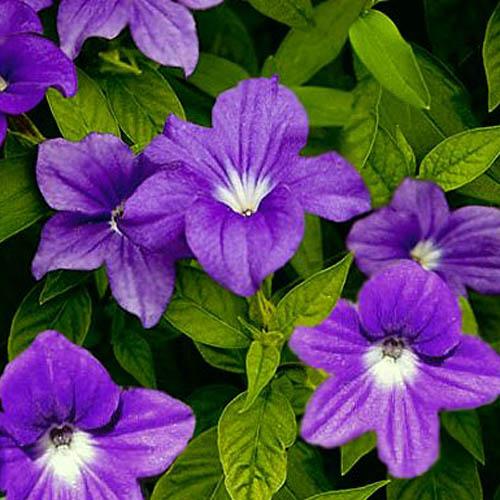 Bunga Browalia