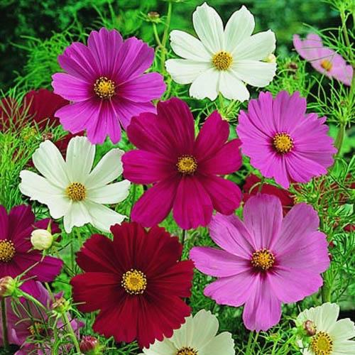 Bunga Coreopsis Mix