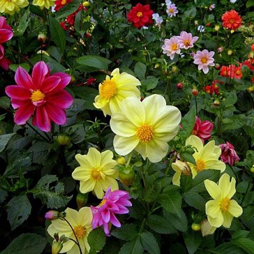 Bunga Dahlia Pinnata Mignon Mix