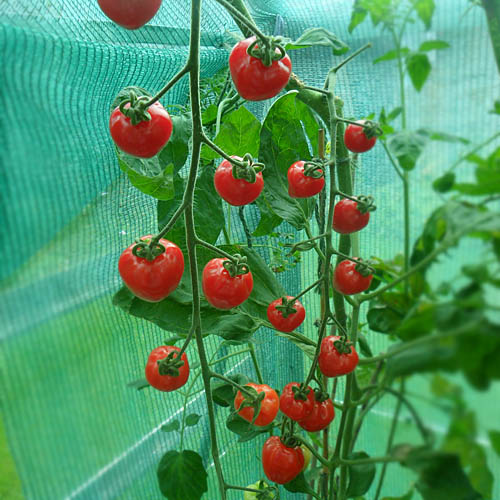 Tomat Money Maker Tomato