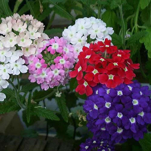 Bunga Verbena Mix