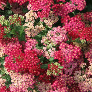 Yarrow Mix – 100 Biji