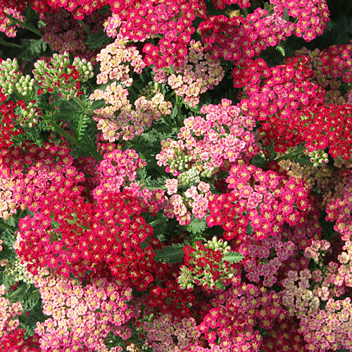 Bunga Yarrow Mix