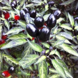 Black Olive – 10 Biji