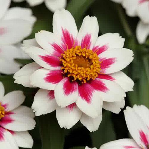 Bunga Zinnia Zahara Rose
