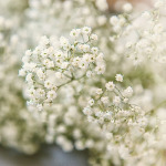 Baby's Breath – 100 Biji