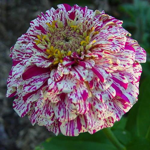 Bunga Zinnia Peppermint Stick