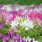 Cleome Mix – 50 Biji