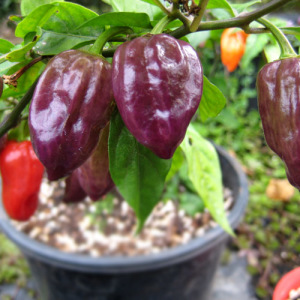 Purple Bhut Jolokia – 5 Biji