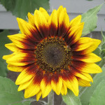 Sunflower Ring Of Fire – 5 Biji