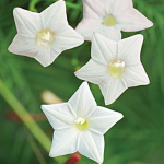 Cypress Vine White – 10 Biji