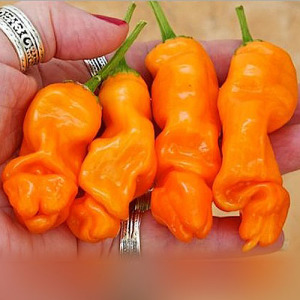 Orange Peter