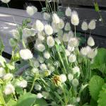 Rumput Bunny Tail – 30 Biji