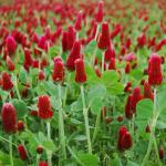Crimson Clover – 50 Biji