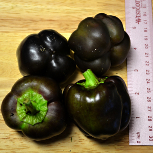 Purple Beauty Bell Pepper – 5 Biji