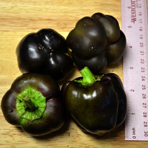 Purple Beauty Bell Pepper – 5 Biji
