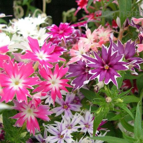 Bunga Phlox Twinkle Star Mix