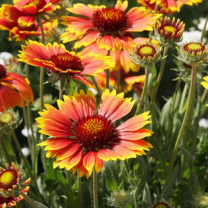 Blanket Flower – 30 Biji