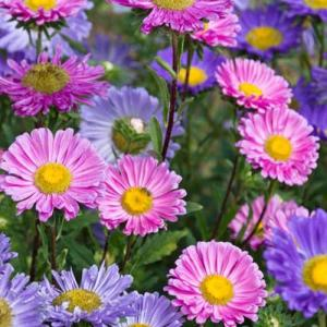 China Aster Mix – 50 Biji