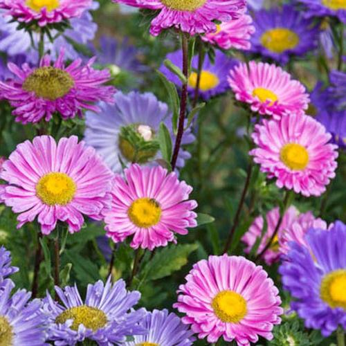 Bunga China Aster Mix